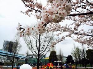 豊洲公園 桜 5 豊洲マガジン