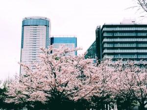 豊洲公園 桜 4 豊洲マガジン