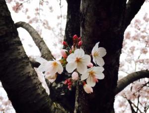豊洲公園 桜 2 豊洲マガジン
