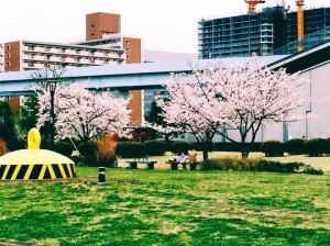 豊洲公園 桜 3 豊洲マガジン