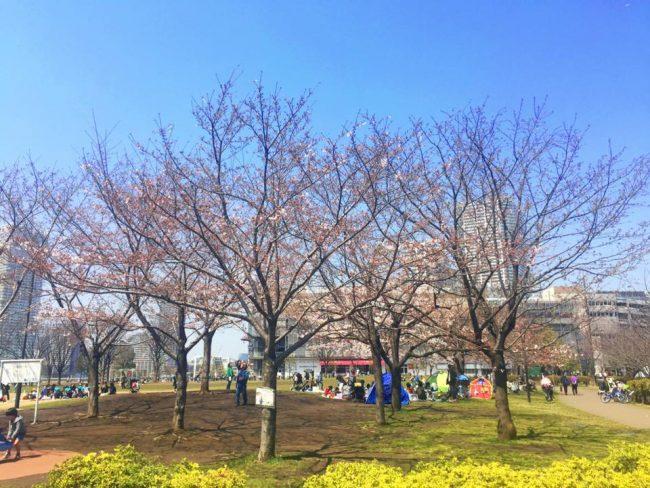 豊洲公園 桜 10 豊洲マガジン