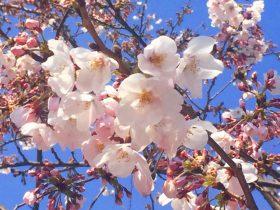豊洲公園 桜 8 豊洲マガジン