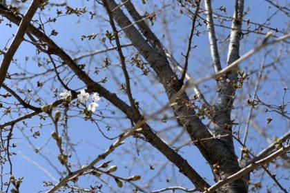 豊洲まちなみ公園 桜