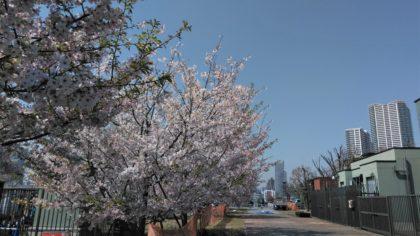 豊洲公園 桜